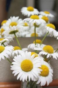 Sunday Still Life - Daisies