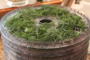 Dill on Trays