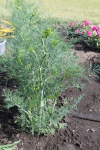 Dill Patch