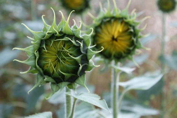 New Sunflowers