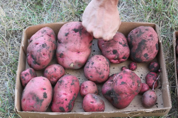 Potatoes Sept 2013
